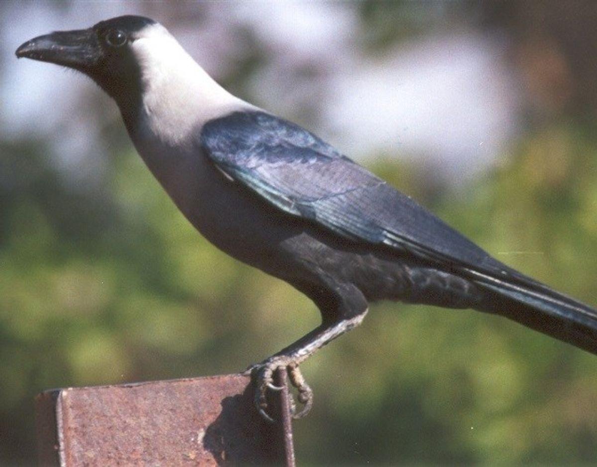 Indisk huskrage/Corvus splendens – Foto: Wikimedia Commons