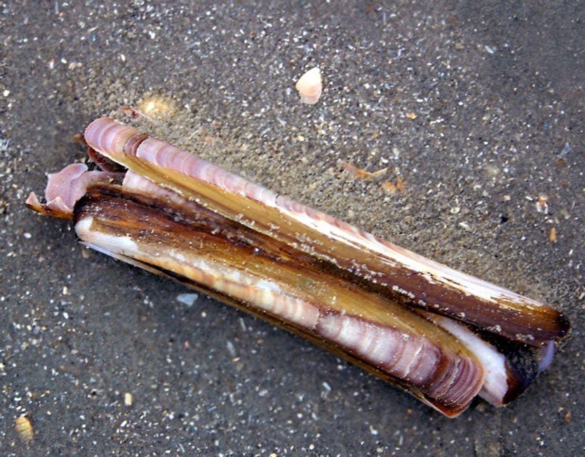 Amerikansk knivmusling/Ensis Americanus. Foto: Wikimedia Commons/Malene Thyssen