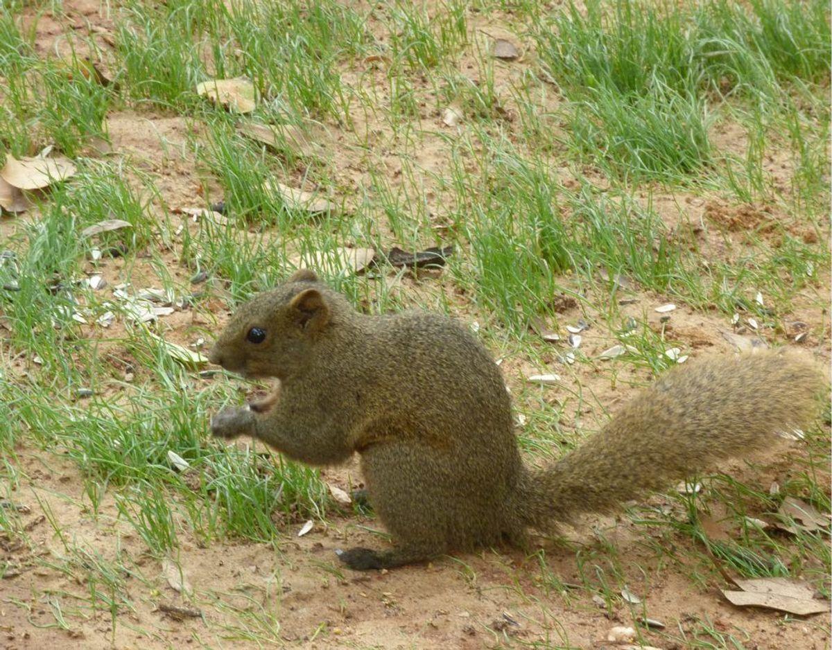 Rødbuget egern/Callosciurus erythraeus – Foto: Wikimedia Commons/Donald Hobern