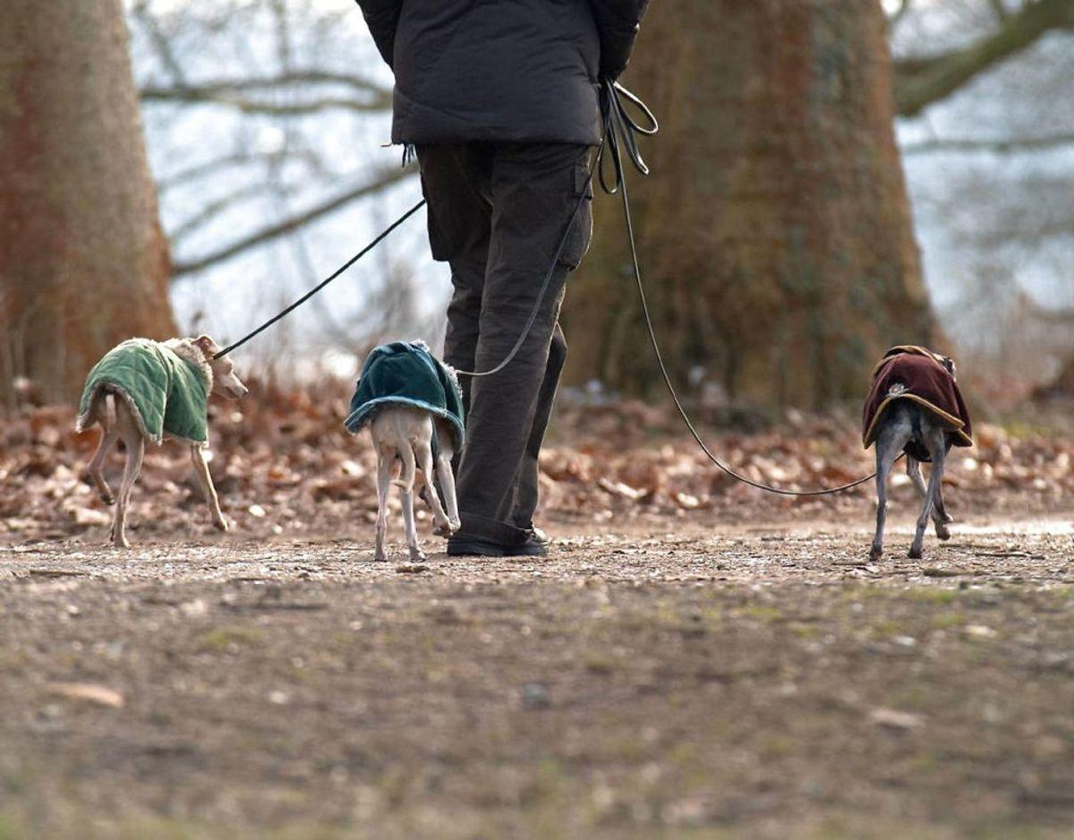I de koldere måneder er det ikke alle hunde, der kan holde varmen, når de befinder sig udendørs. Hvis ikke de har pels nok, kan det være en god idé at give hundene varmt tøj på. KLIK VIDERE OG SE DE HUNDE, DER IKKE HAR UNDERPELS. Foto: Scanpix
