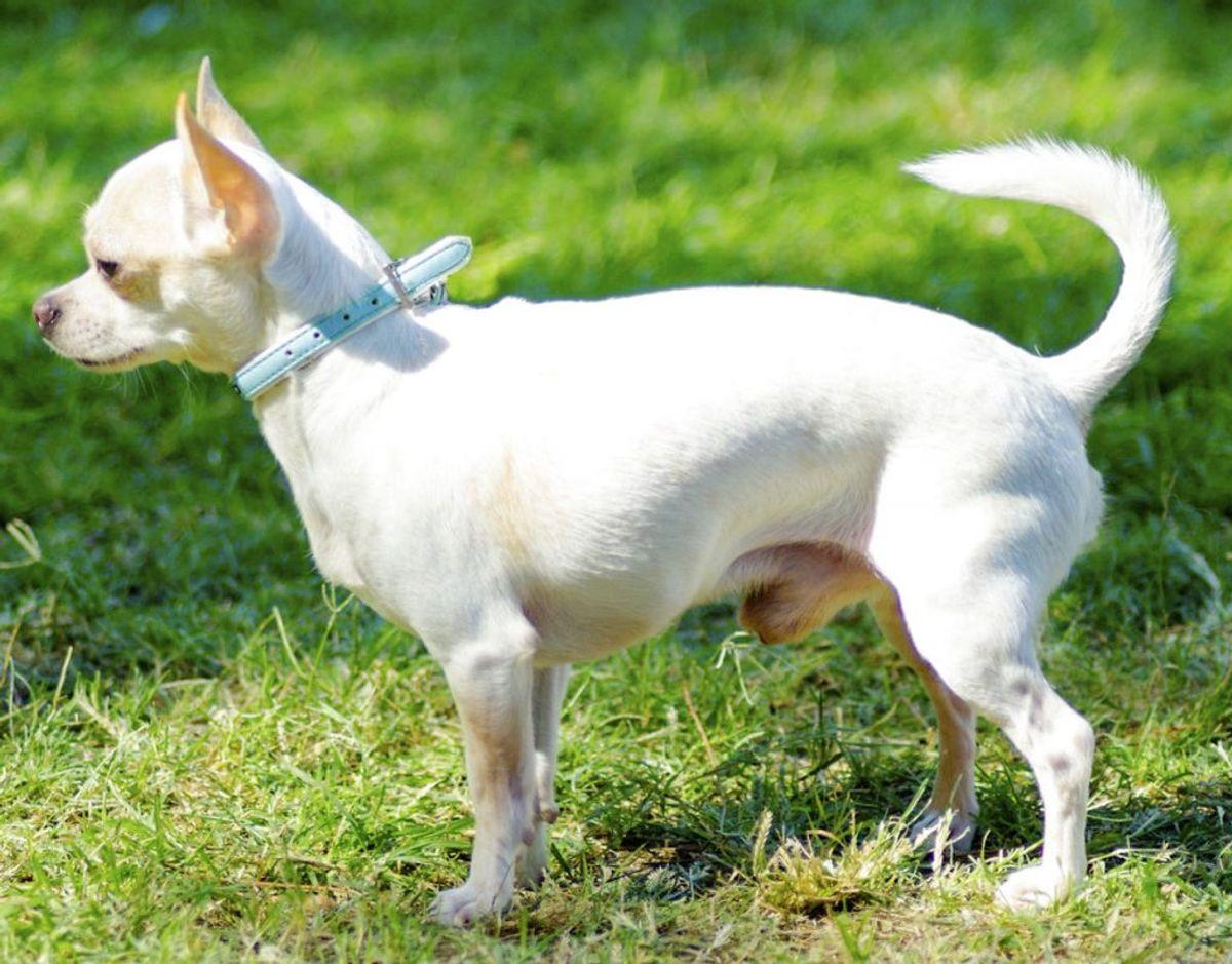 Korthåret Chihuahua. Kilde: Agria Dyreforsikring Foto: Scanpix