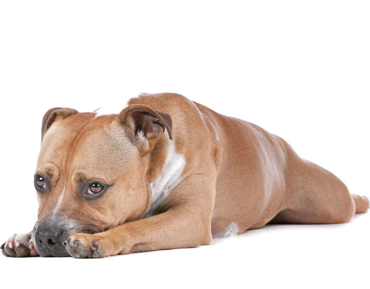 Staffordshire Bull Terrier. Kilde: Agria Dyreforsikring Foto: Scanpix