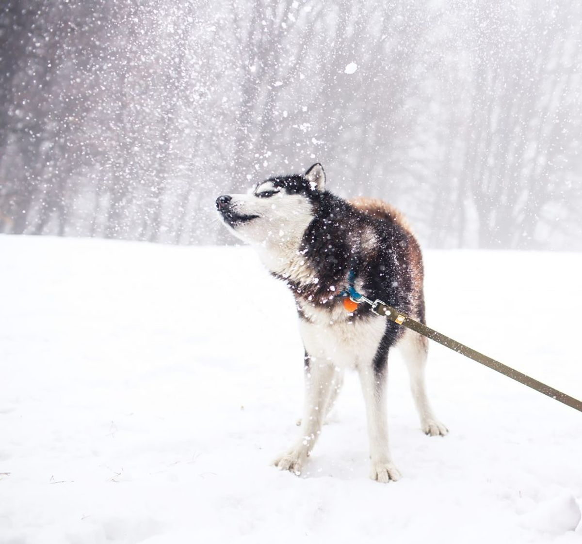 Alaskan Malamute. Kilde: American Kennel Club. Arkivfoto.