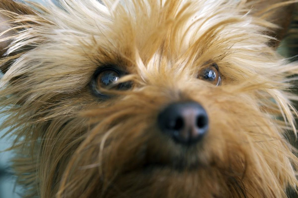 Australsk Terrier. Kilde: American Kennel Club. Arkivfoto.