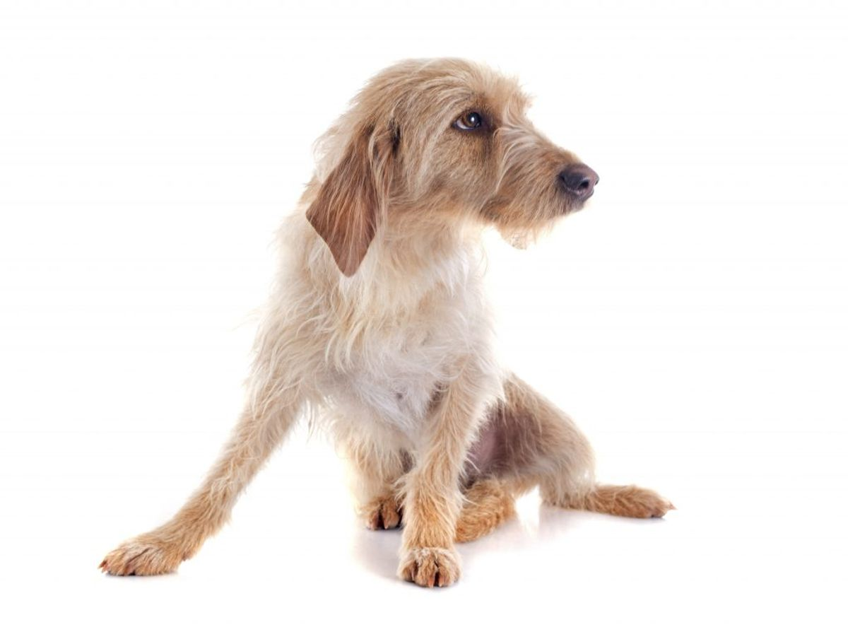 Basset Fauve de Bretagne. Kilde: American Kennel Club. Arkivfoto.