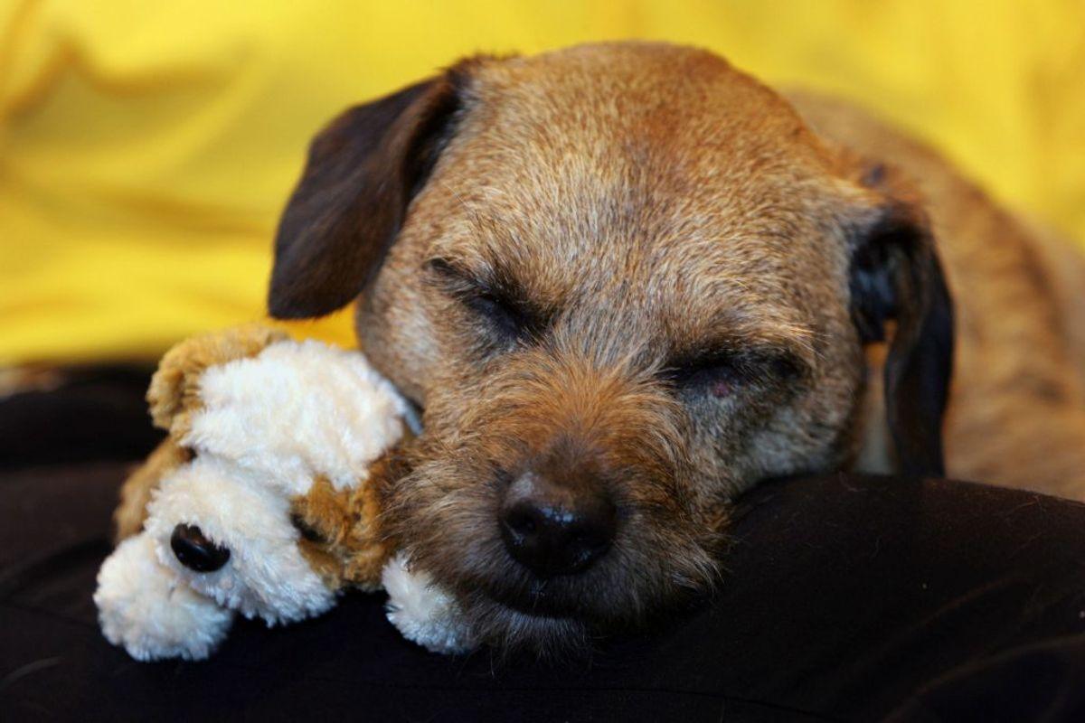 Border Terrier. Kilde: American Kennel Club. Foto: Scanpix.