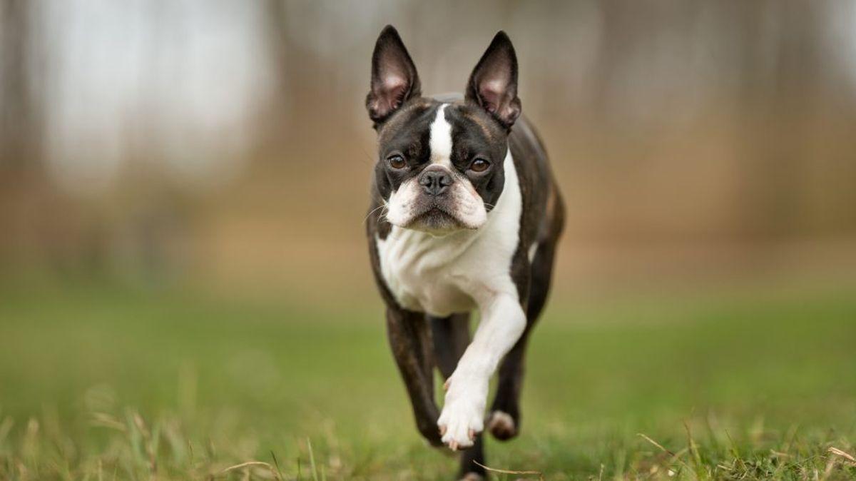 Boston Terrier. Kilde: American Kennel Club. Arkivfoto.