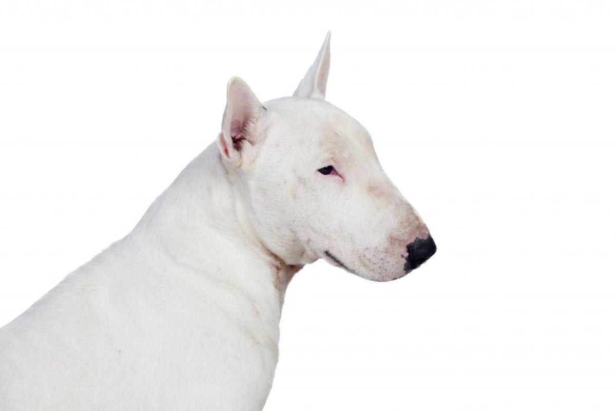 Bull Terrier. Kilde: American Kennel Club. Arkivfoto.