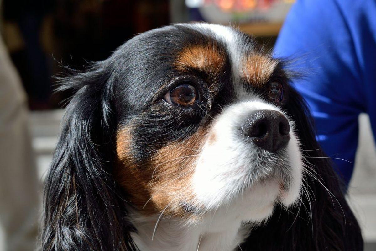 Cavalier King Charles Spaniel. Kilde: American Kennel Club. Arkivfoto.