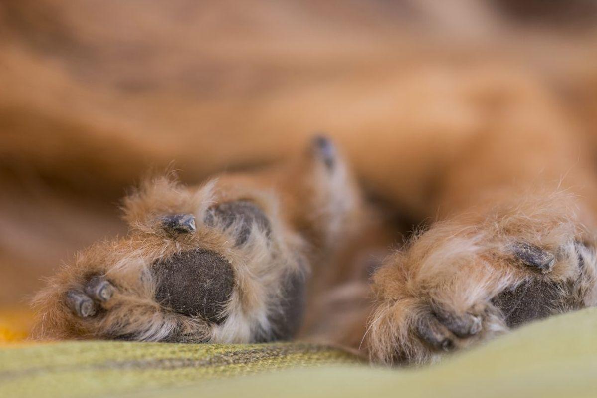 Chinook. Kilde: American Kennel Club. Arkivfoto.