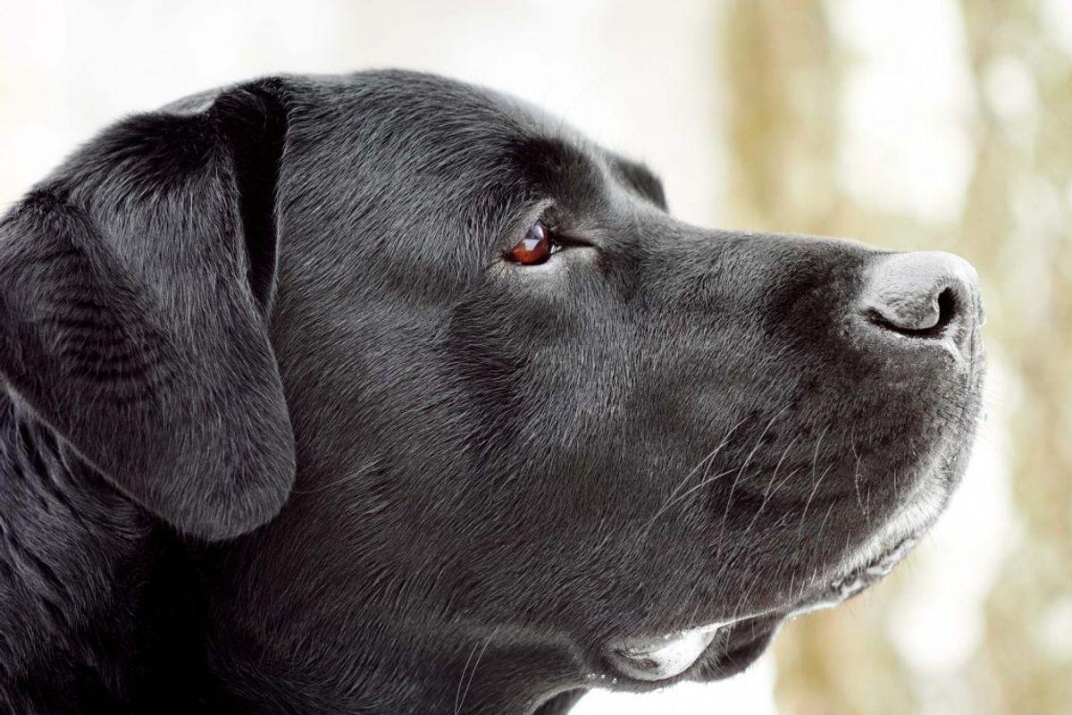 Labrador retriever. Kilde: American Kennel Club. Arkivfoto.
