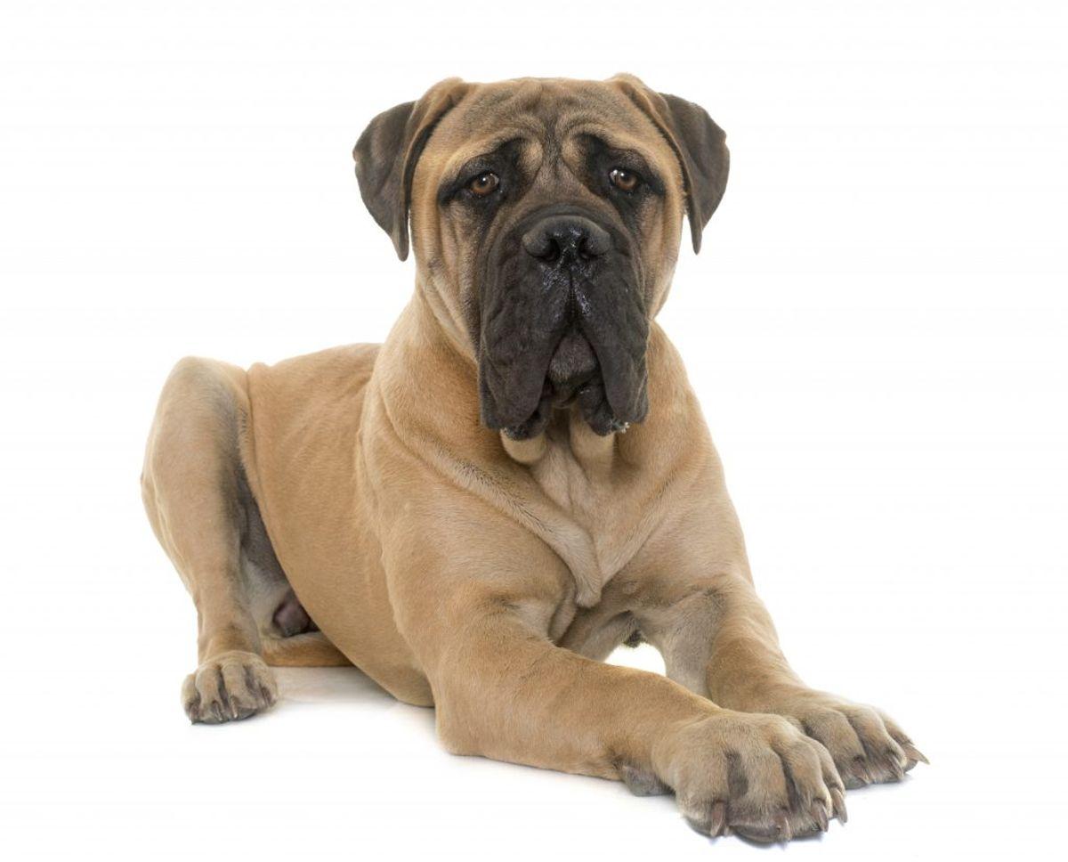 Spansk Mastiff. Kilde: American Kennel Club. Arkivfoto.