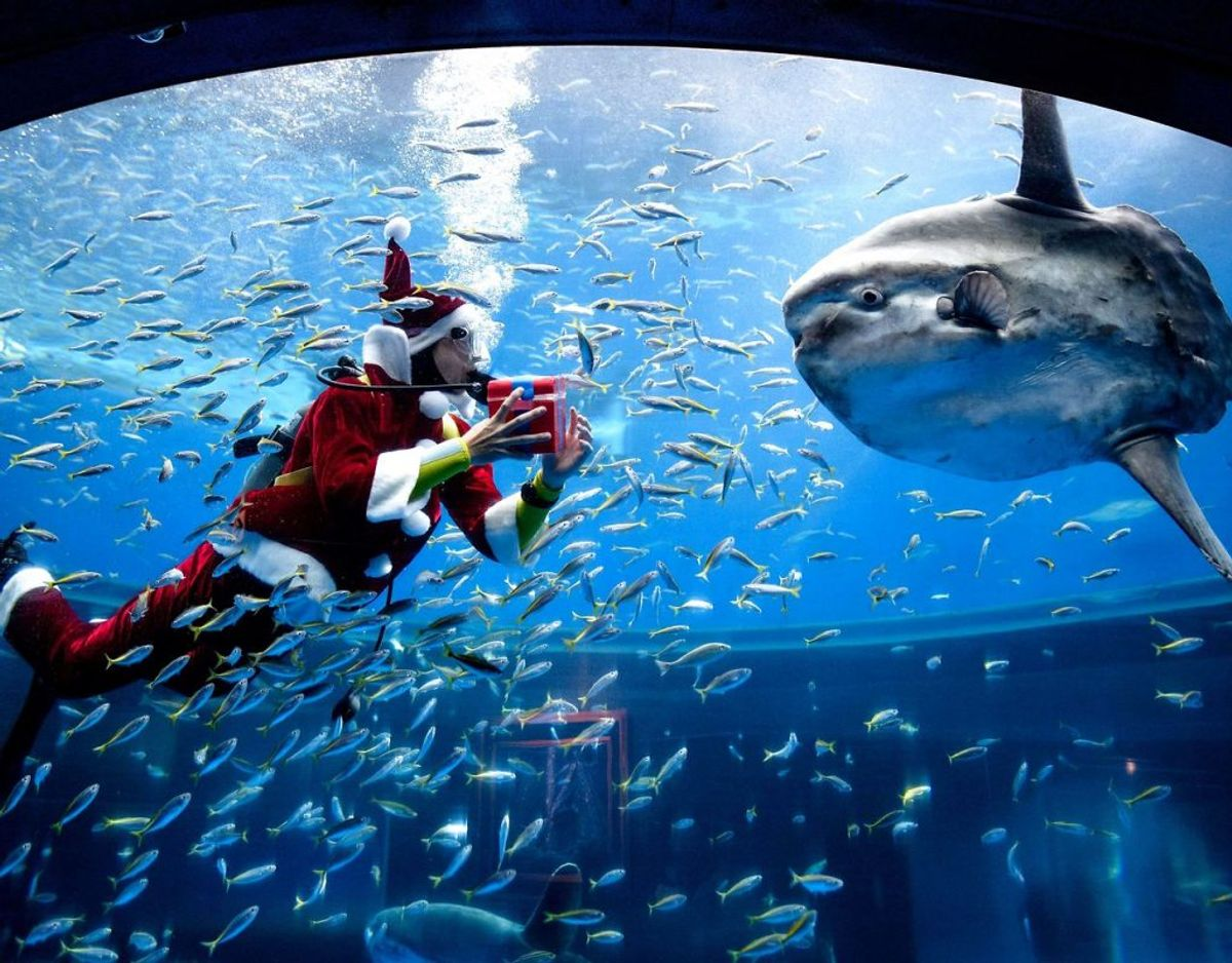 En dykker klædt som julemanden fodrer her hajerne med småfisk i akvariet i Hakkeijima Sea paradise in Yokohama. Foto: Philip FONG/Scanpix.