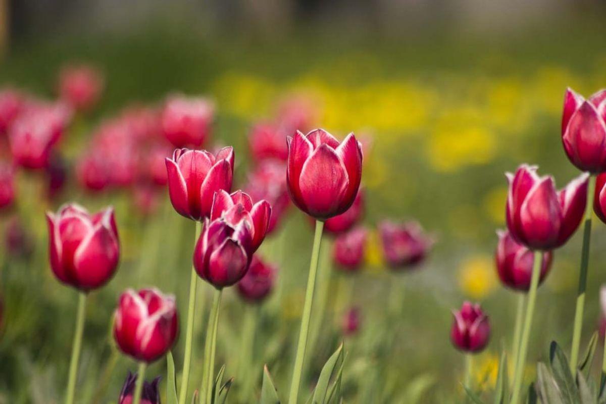 Tulipaner. Foto: Colourbox.