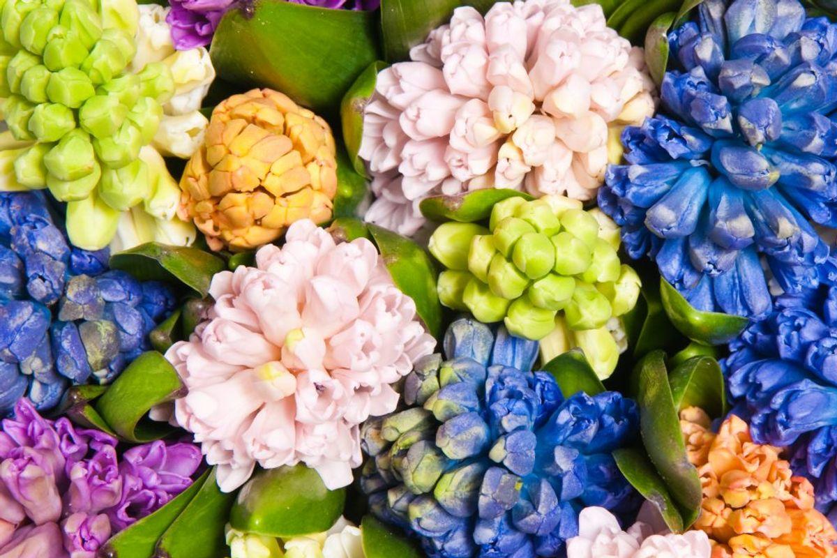 Hyacinter. Foto: Colourbox.