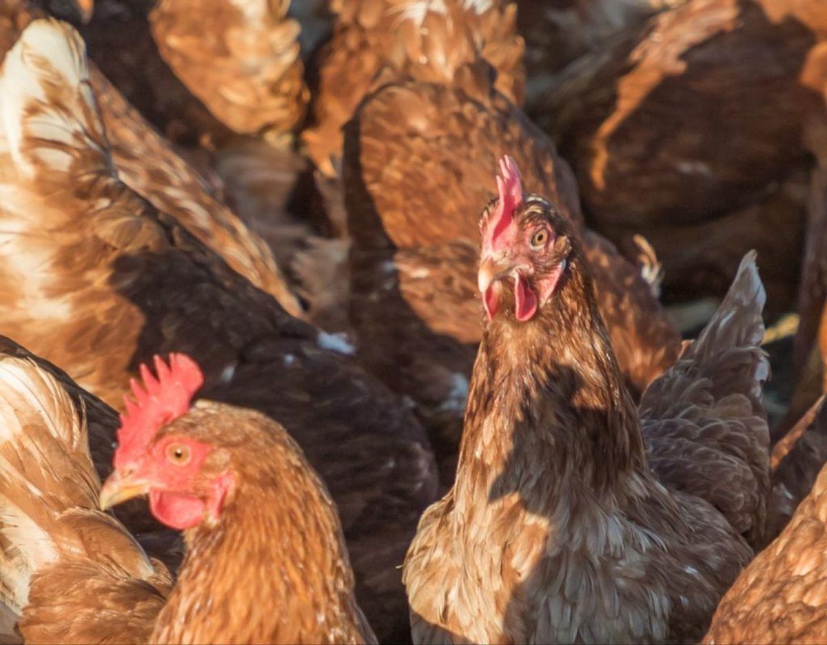Som om det ikke er nok med coronavirus, skal vi også bøvle med fugleinfluenza. Foto: SSI