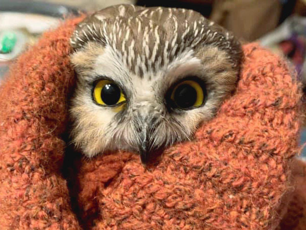 Uglen, der nu hedder Rockefeller, blev reddet fra juletræet ved Rockefeller Center i New York City. Foto: Ravensbeard Wildlife Center / Ravensbeard Wildlife Center