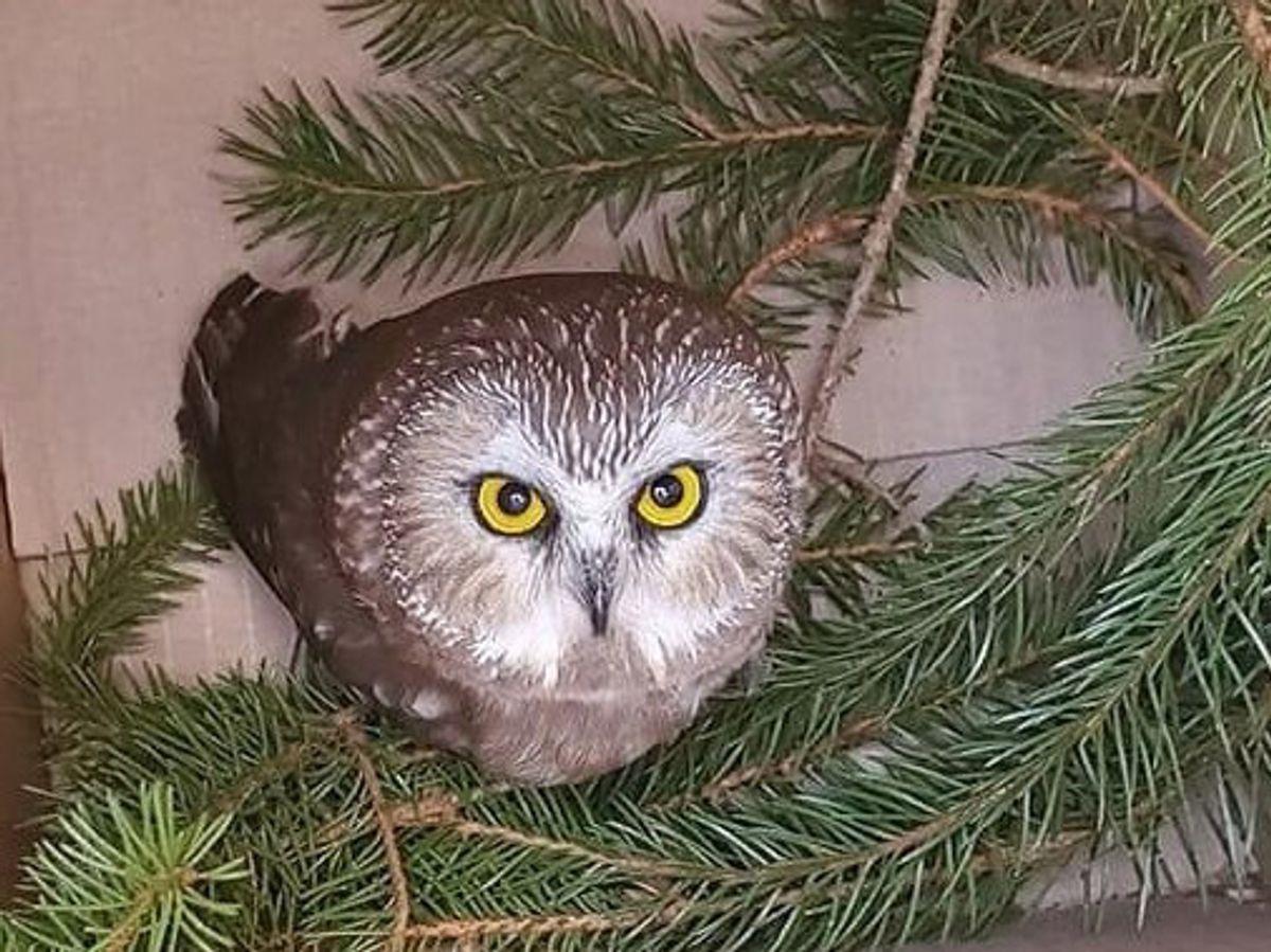Det var en mand, der fastgjorde juletræet, som opdagede, at uglen sad i træet. Foto: 10500 Ravensbeard Wildlife Center/Scanpix 2020