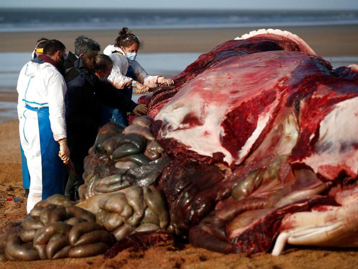 Mindst seks finhvaler er fundet døde på strande i Vestfrankrig. Nu skal deres død undersøges. KLIK for flere billeder. Foto: Stephane Mahe/Scanpix.