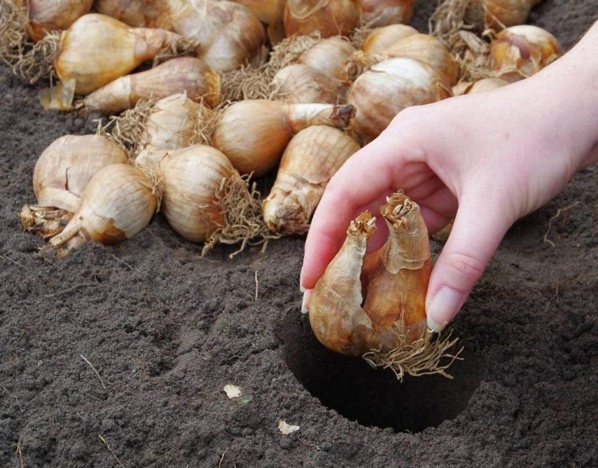 Efteråret er også årstiden, hvor det er optimalt at flytte og lægge nye løg. Jo senere du planter løget, jo senere kommer det op. Kilde: Bolius Foto: Scanpix