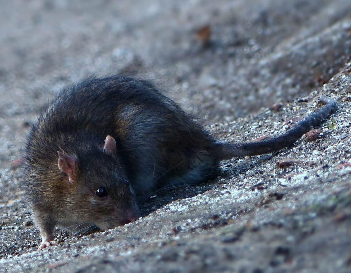 Det er nu rotterne rykker indenfor – men du kan selv være med til at forhindre det.