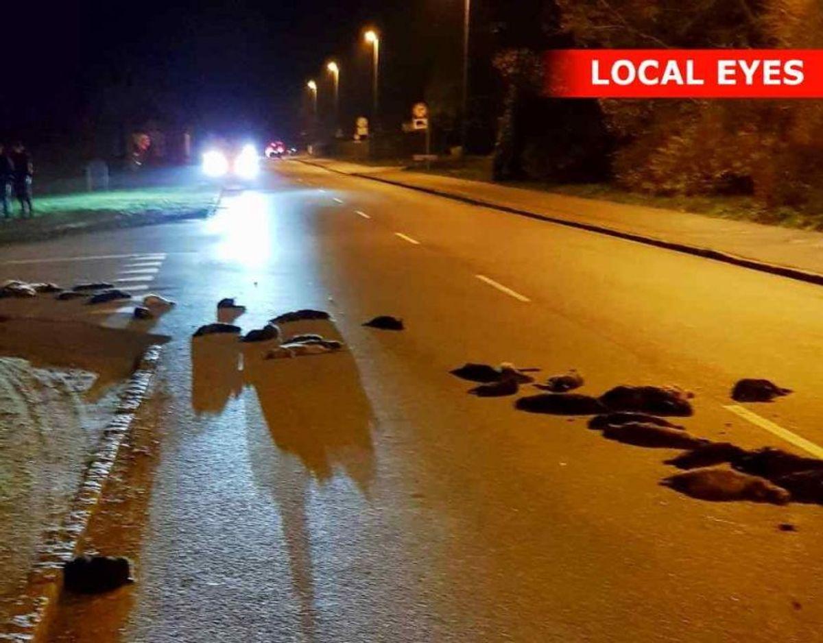 Minkene ligger spredt ud over en landevej. Foto: Local Eyes.