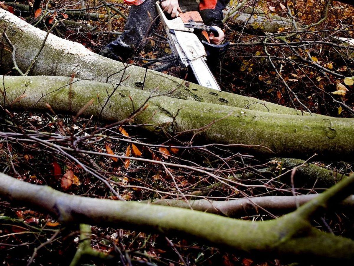 En 83-årig mand er i livsfare efter, han blev mast af et træ, der væltede. Foto: Linda Kastrup/Ritzau Scanpix