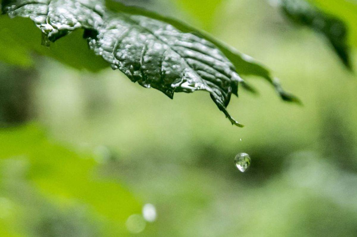 Du slår græsset, selvom det er vådt. Det er hverken godt for plæne eller for maskine, at du slår græsset, mens det er vådt. Kilde: Reader's Digest. Arkivfoto.