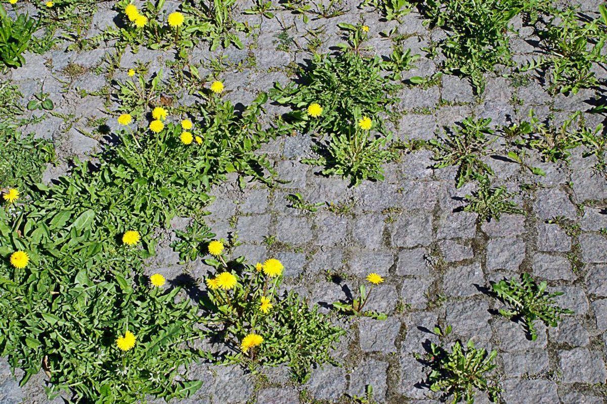 Det samme kan du gøre med blegemiddel. Efter et par dage kan du nemt rykke ukrudtet op, og det vil ikke komme tilbage. Sørg dog for, at der ikke kommer blegemiddel på de planter, du gerne vil beholde i haven. Kilde: Reader's Digest. Arkivfoto.