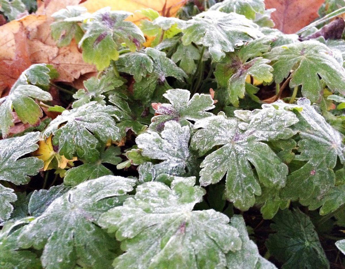 Vær dog forberedt på, at der i efteråret er risiko for nattefrost. Hav altid plastik klar til at dække sarte planter af i haven. Hvis der er minusgrader i længere tid eller under minus to grader, skal du flytte sarte planter ind i et frostfrit rum.Kilde: Plantorama Foto: Scanpix