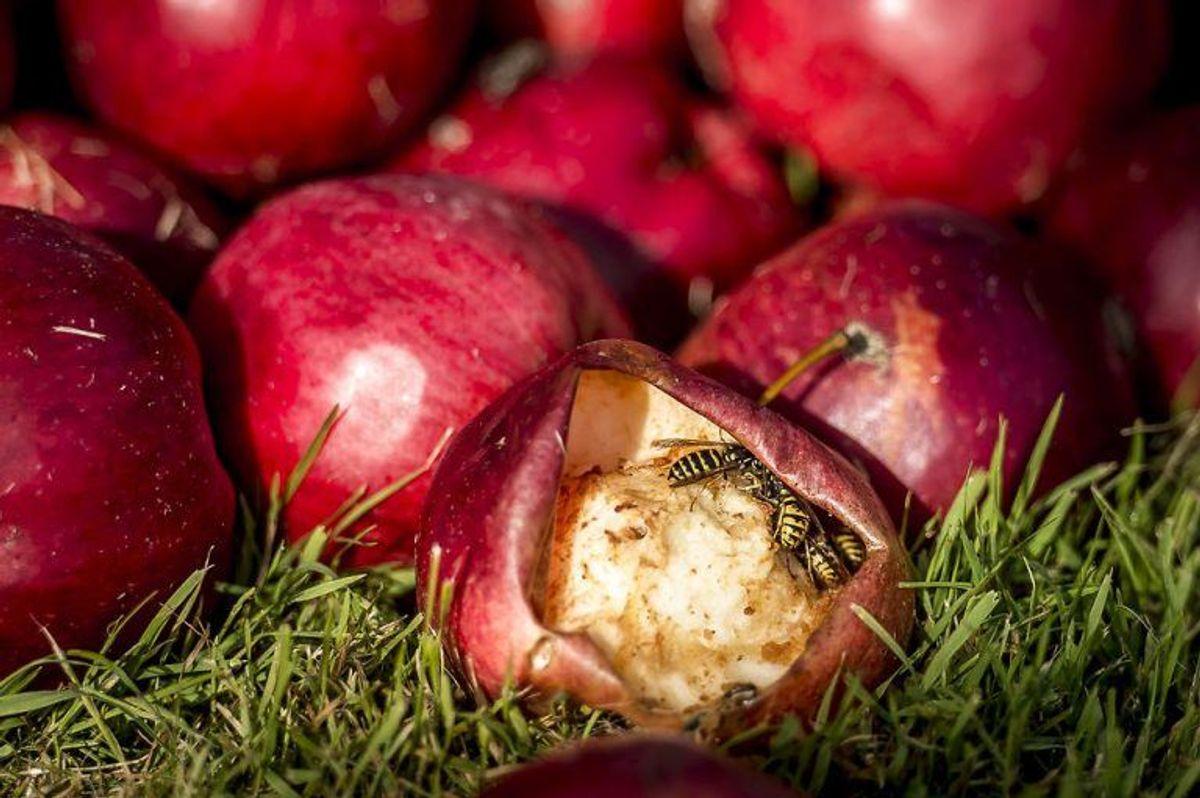 Nedfaldsfrugter tiltrækker dels hvepse, som kan give dødsensfarlige stik i svælget eller på tungen. Men de danner også alkohol – og det kan hunde slet ikke tåle. Klik videre i galleriet for flere oplysninger. Foto: Scanpix