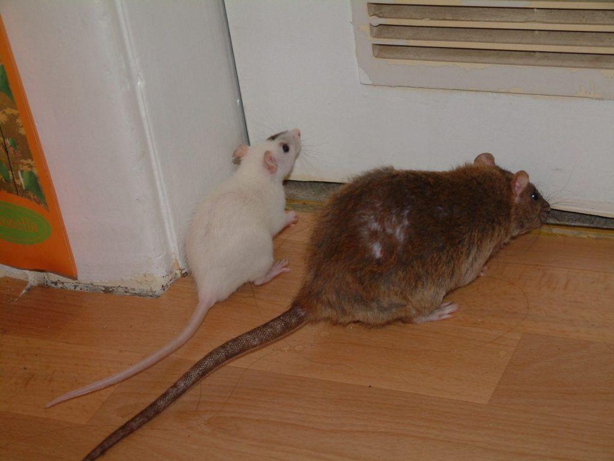 – Har du lagt rotte- eller musegift ud i boligen, så pas på, at hunden ikke kommer i kontakt med det. Klik videre i galleriet for flere oplysninger. Foto: Scanpix