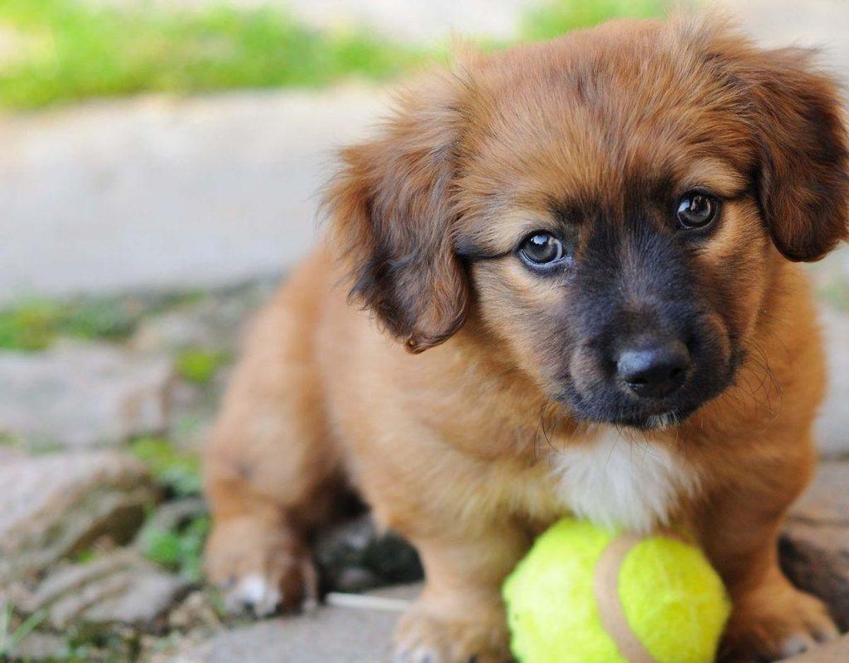 Ifølge Dansk Kennel Klub er parvovirus smitsom tarmbetændelse, der især rammer hvalpe. Sygdommen kan være dødelig, og DKK anbefaler, at hunde bliver vaccineret mod sygdommen. Symptomerne er opkast, feber og diarre. Genrefoto. KLIK og læs om flere farlige hundesygdomme.