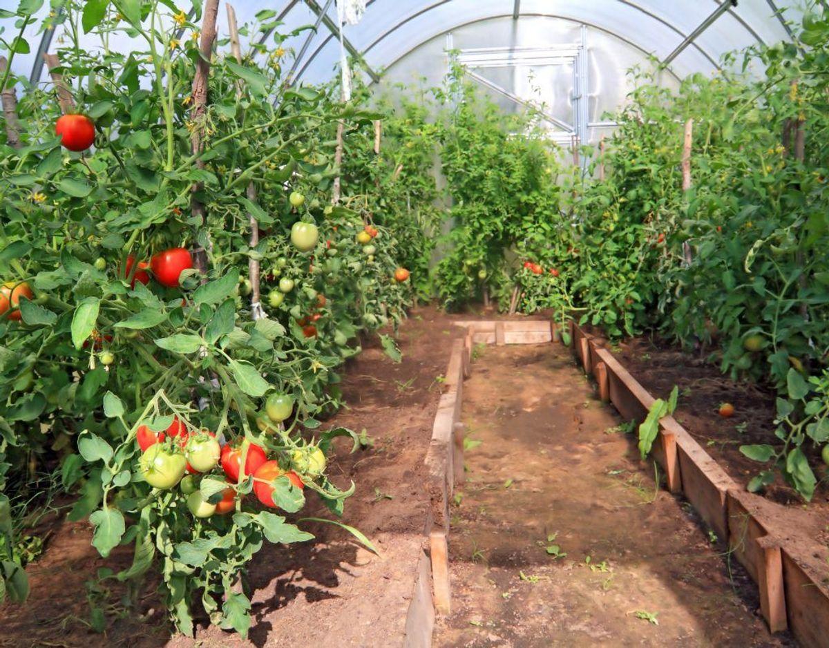 Tomater i store mængder samt blade fra tomatplanter.