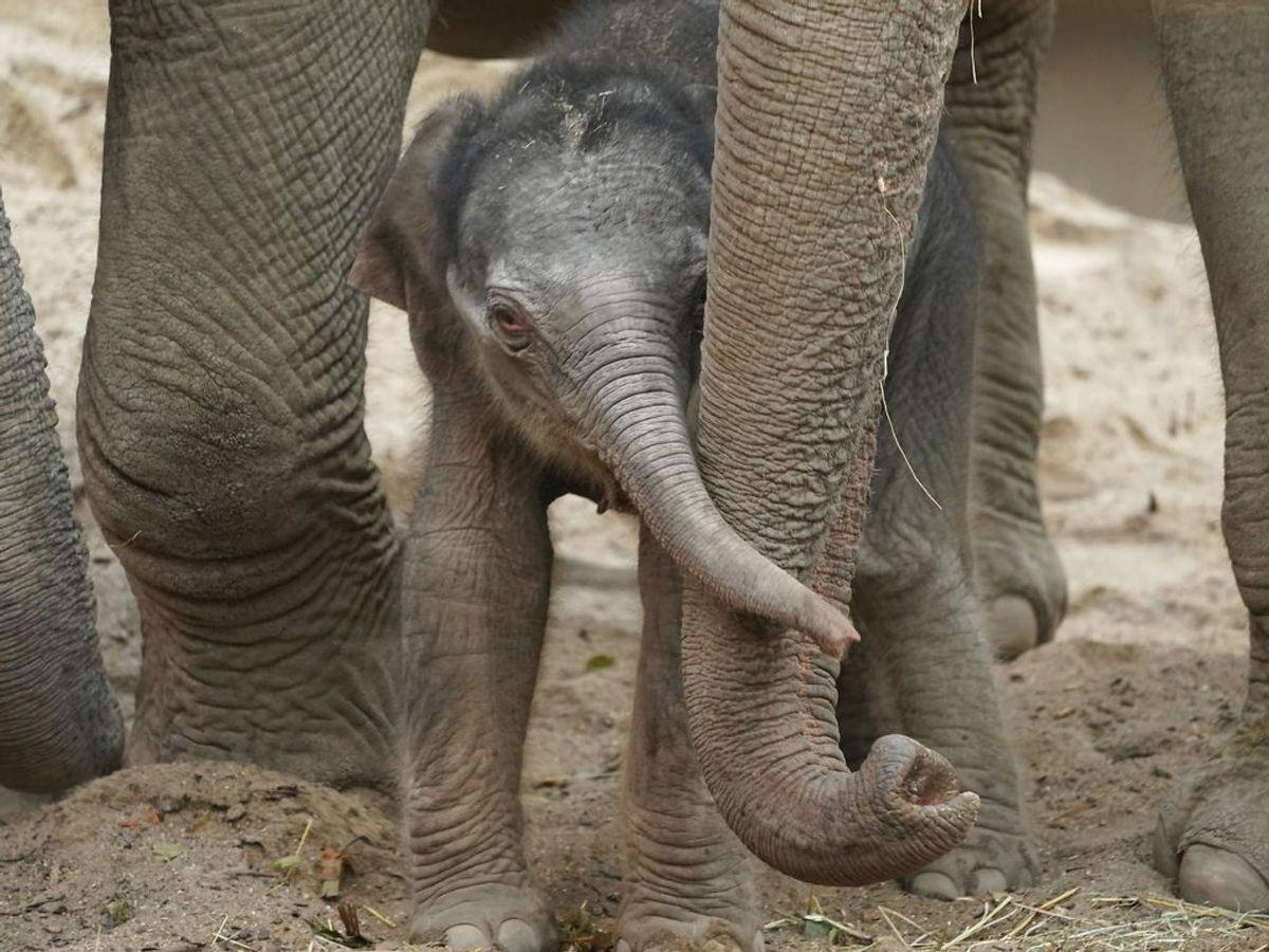 Efter 20 minutter var elefantungen oppe at gå. Foto: Emil Helms/Ritzau Scanpix
