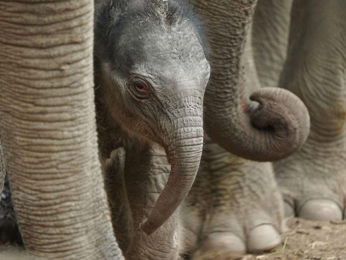 Det er den 22-årige hunelefant Surin, der har født ungen. Foto: Emil Helms/Ritzau Scanpix