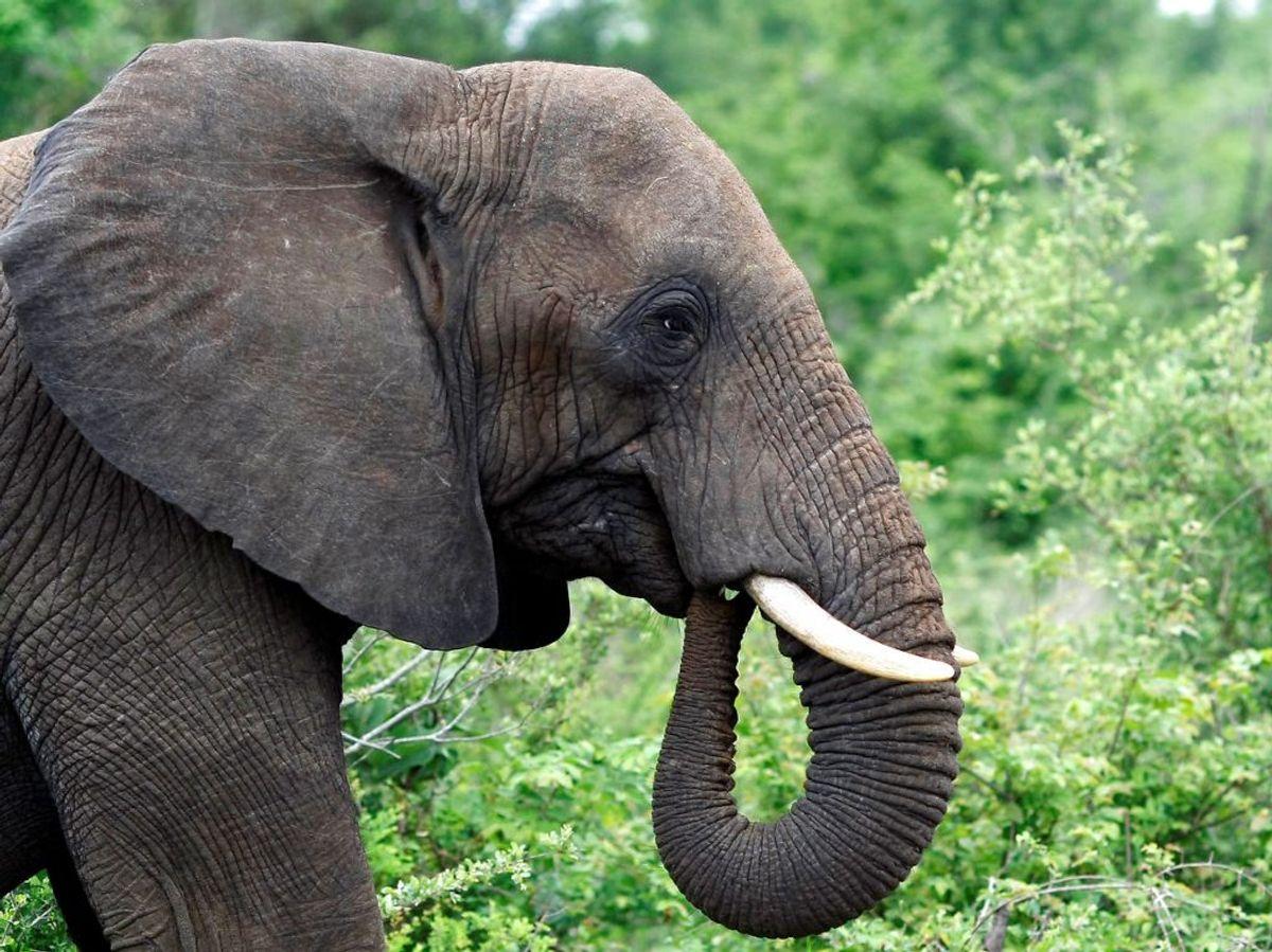 En 27-årig mand er blevet dræbt af en elefant, der stak stødtænderne i ham. Foto: REUTERS/Mike Hutchings/File Photo