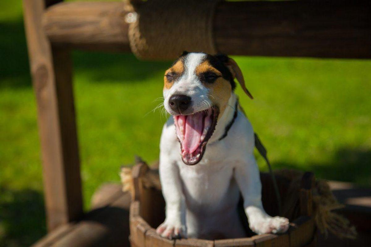 Der findes en række symptomer på hedeslag hos hunde, som du aldrig må sidde overhørigt. KLIK VIDERE OG SE, HVILKE TEGN DU SKAL REAGERE PÅ. Arkivfoto.