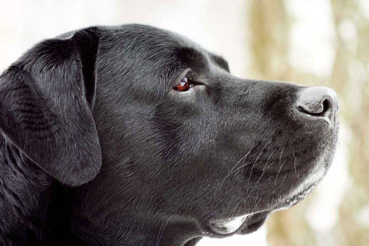 Nummer to: Labrador. Kilde: Agria Dyreforsikring. Arkivfoto.