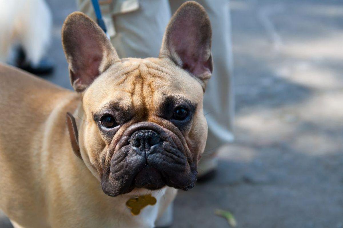 Nummer seks: Fransk bulldog. Kilde: Agria Dyreforsikring. Arkivfoto.