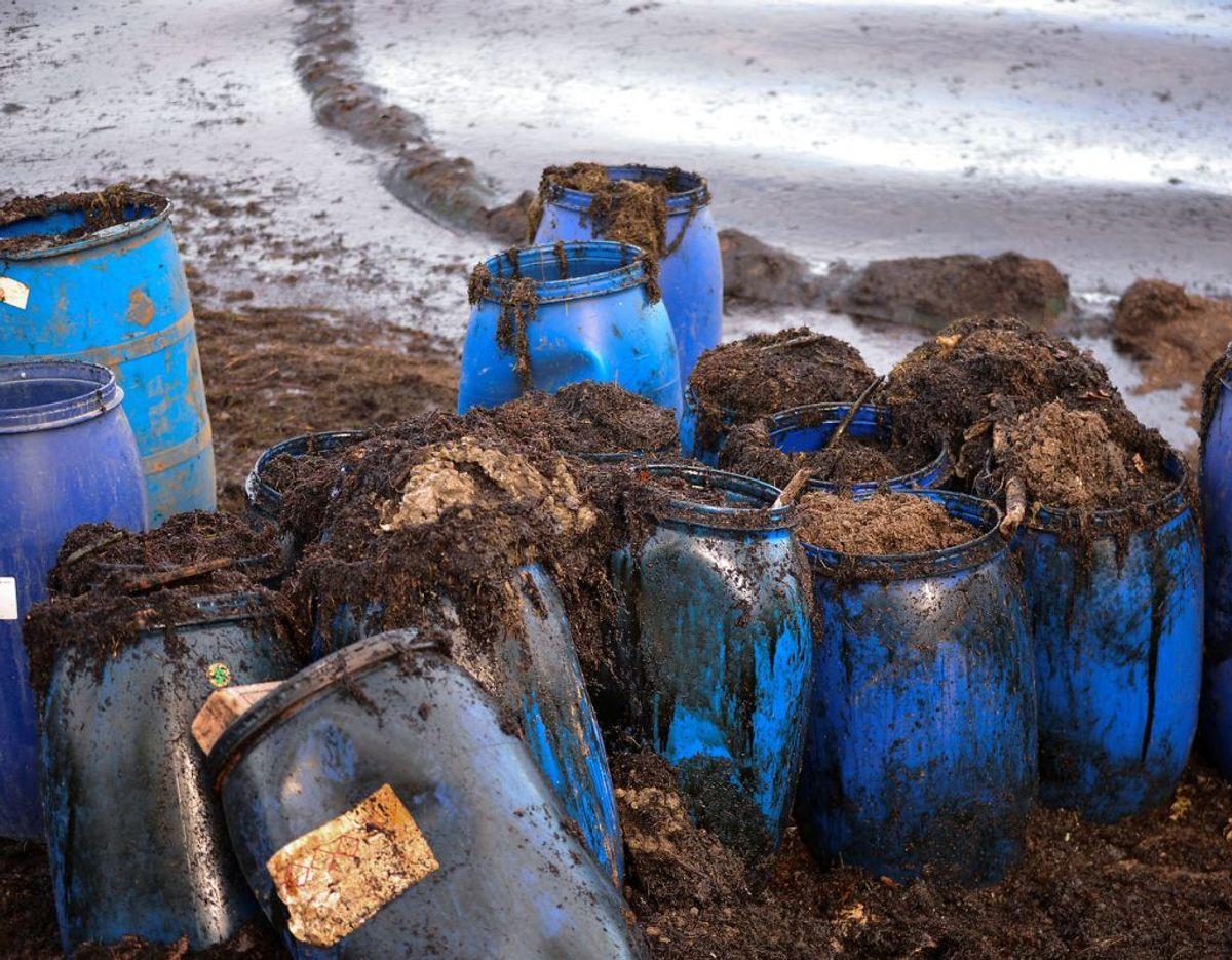 Strandene står til at blive ødelagt af olien. Foto: Scanpix