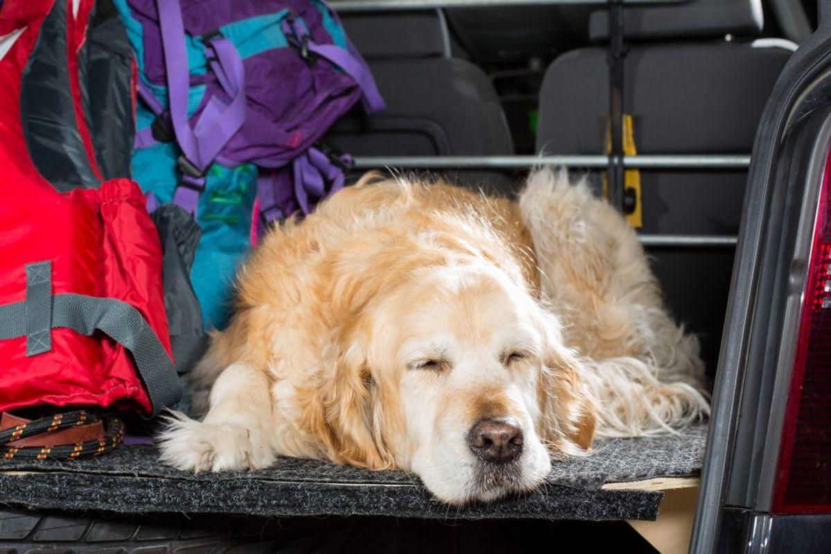 Hvis bilen ikke har aircondition, så undgå at tage lange bilture med hunden, når det er meget varmt. Selv når du parkerer i skyggen, kan bilens temperatur stige til 50 grader, og da solen hurtigt flytter sig på himlen, vil bilen på kort tid være placeret i direkte sollys igen