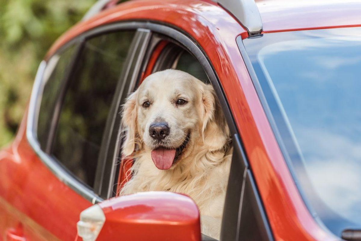 Frisk luft er vigtigt, også med aircondition i bilen. Hunden kan få det meget varmt bagi, hvor ventilationen måske ikke virker så godt, selvom det er dejlig køligt foran. Sørg for, at hunden får frisk luft, uanset hvor den er placeret i bilen.