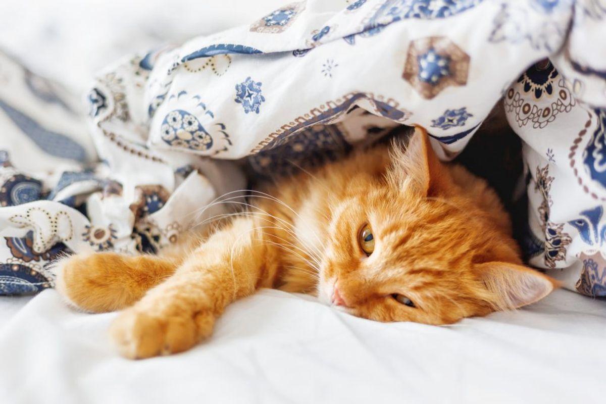 Det kan være hyggeligt at have katten eller hunden liggende i sengen, men det er også en sand bakteriespreder. Foto: Colourbox