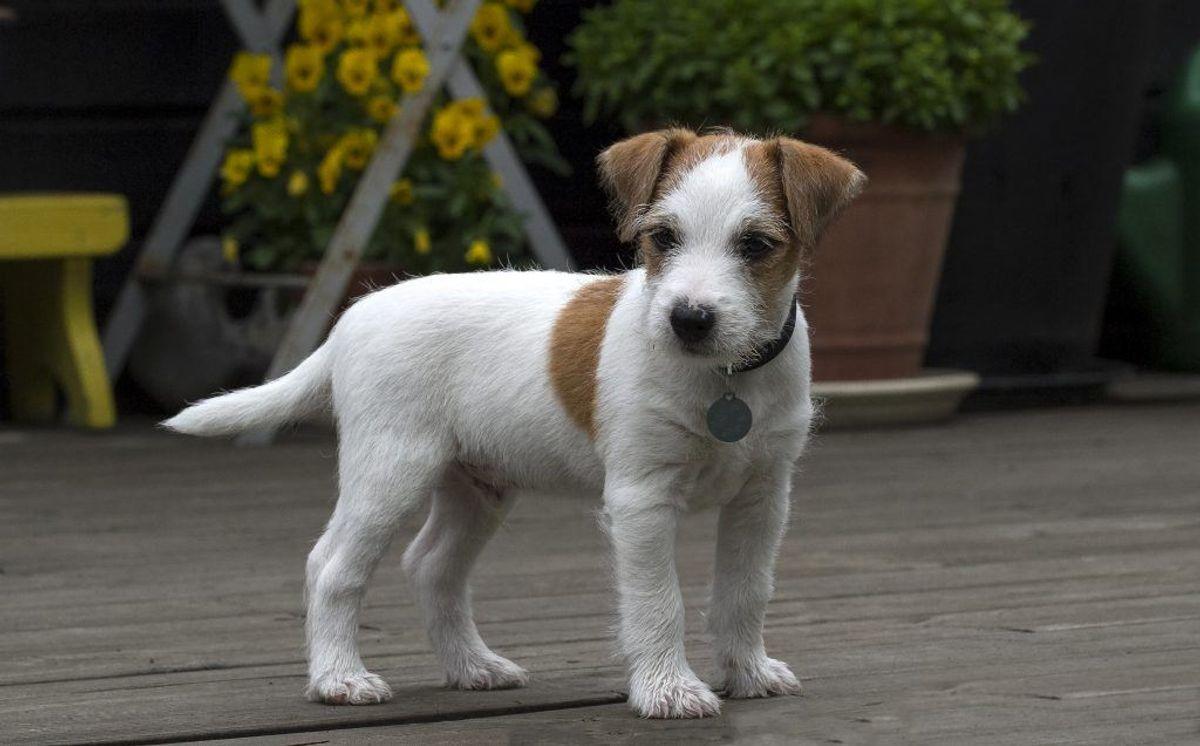 Nummer 19: Jack Russell Terrier. Kilde: Agria Dyreforsikring. Arkivfoto.