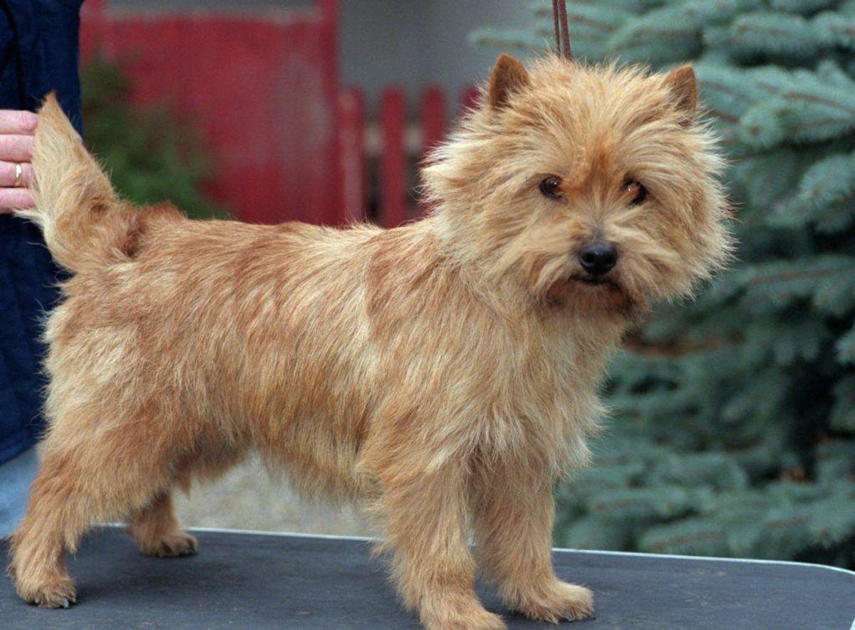 Nummer 18: Cairn Terrier. Kilde: Agria Dyreforsikring. Arkivfoto.