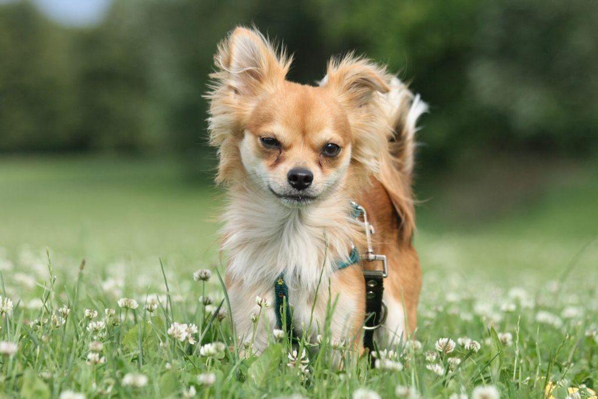 Nummer 17: Chihuahua. Kilde: Agria Dyreforsikring. Arkivfoto.