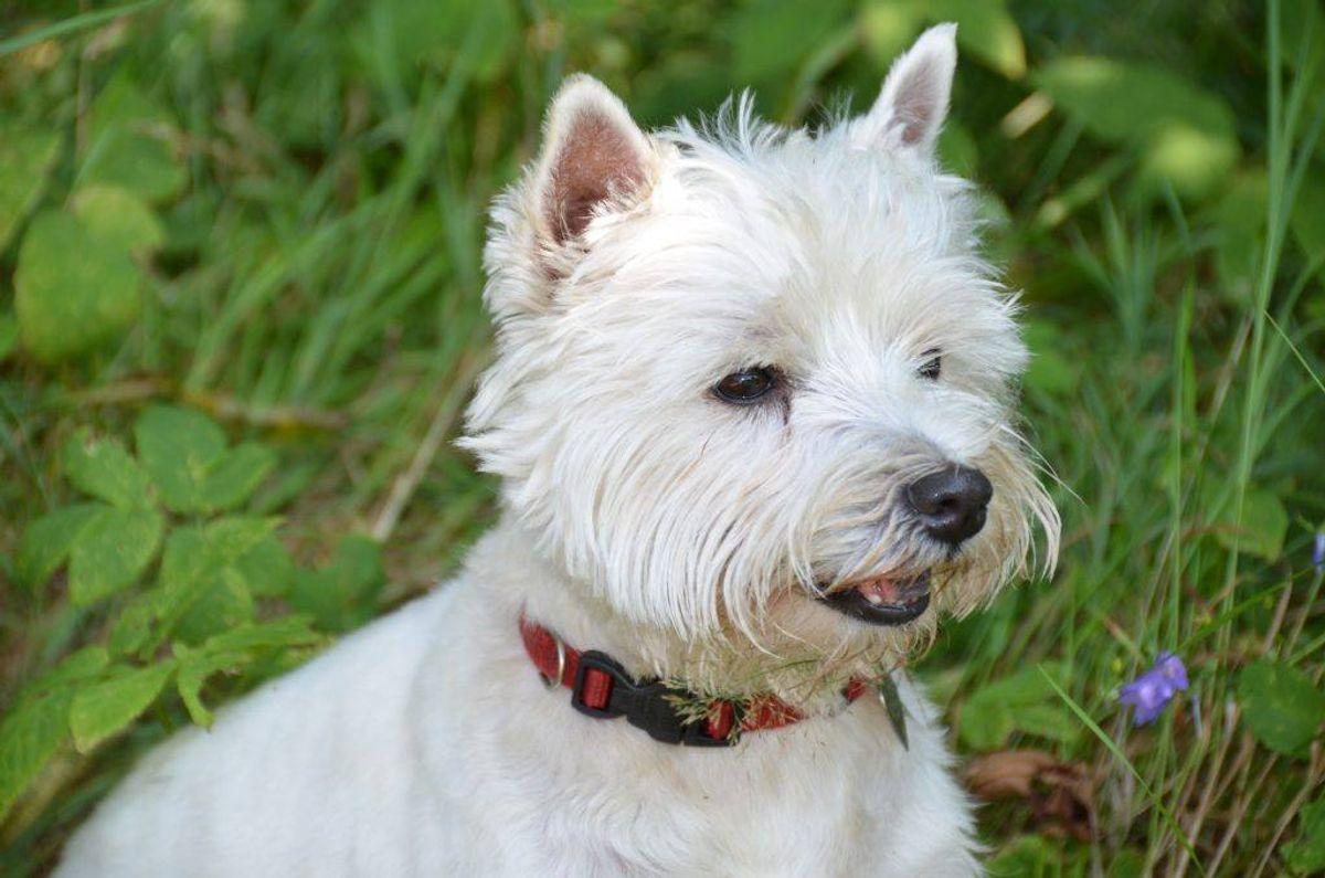 Nummer 16: West highland white terrier. Kilde: Agria Dyreforsikring. Arkivfoto.