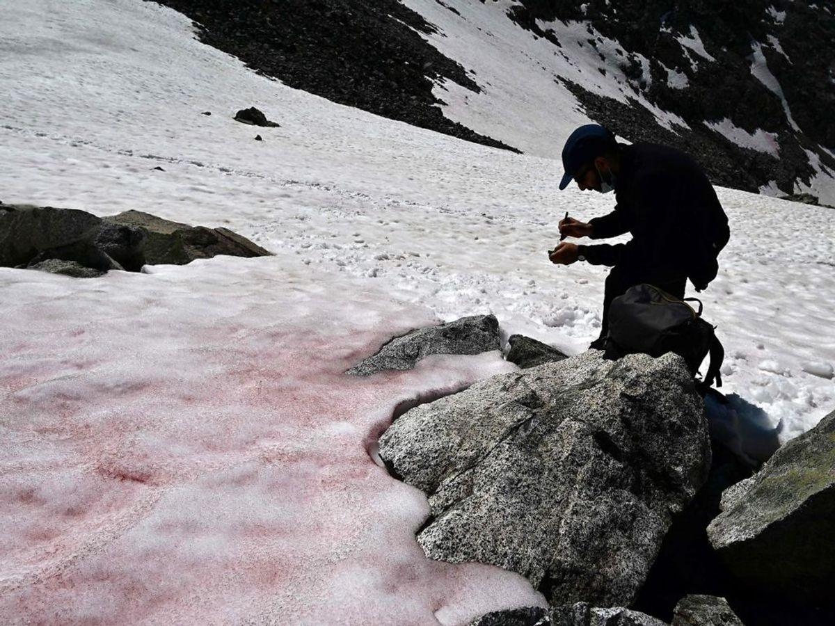 """Ancylonema nordenskioeldii er nemlig den samme alge, som findes i Grønlands såkaldte """"Dark Zone"""". Den farver isen mørkere – til gengæld smelter den også hurtigere. Foto: Scanpix."""