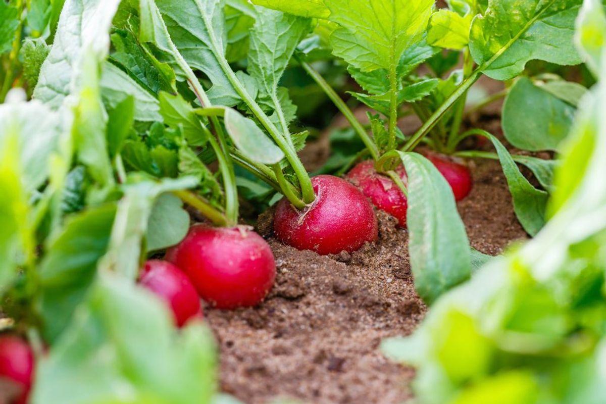 Radisser: Radisser er lette at få til at gro, og de vokser hurtigt. Nogle gange kan du høste dem få uger efter, de er sået. Derfor kan man også nå at så radisser ad flere omgange i løbet af en sæson. Foto: Scanpix